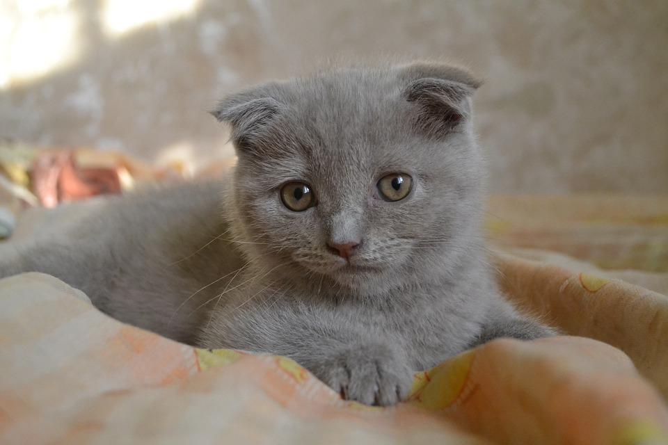 le chat le plus cher du mondeLe Scottish Fold
