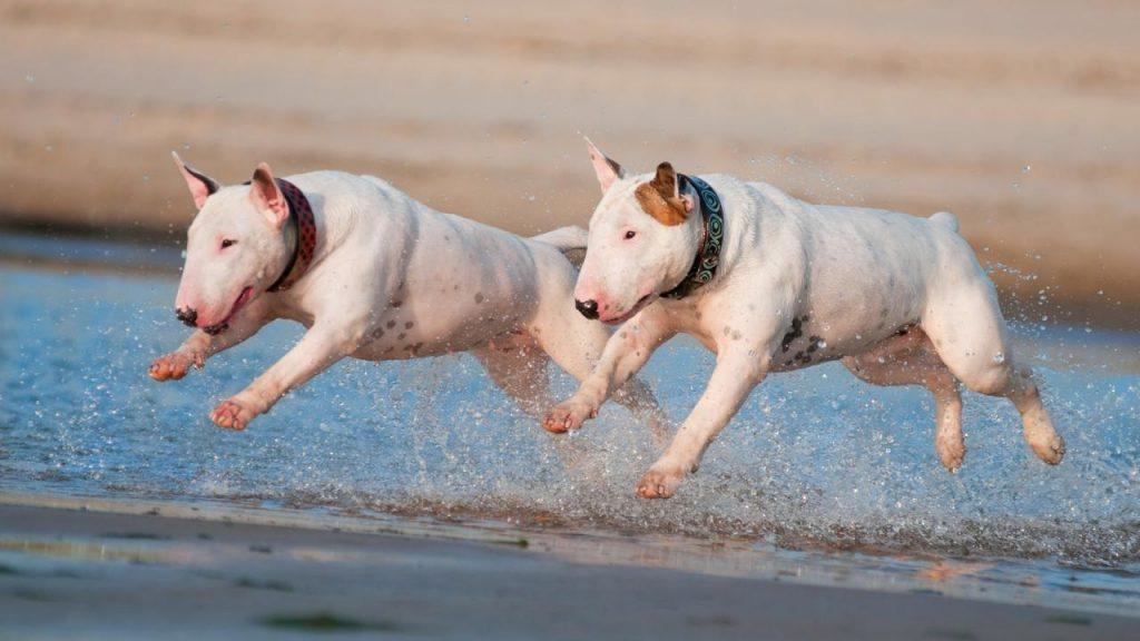 bull terrier chien de garde 2019
