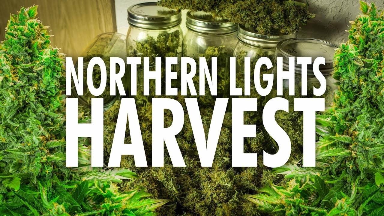 northern lights weed