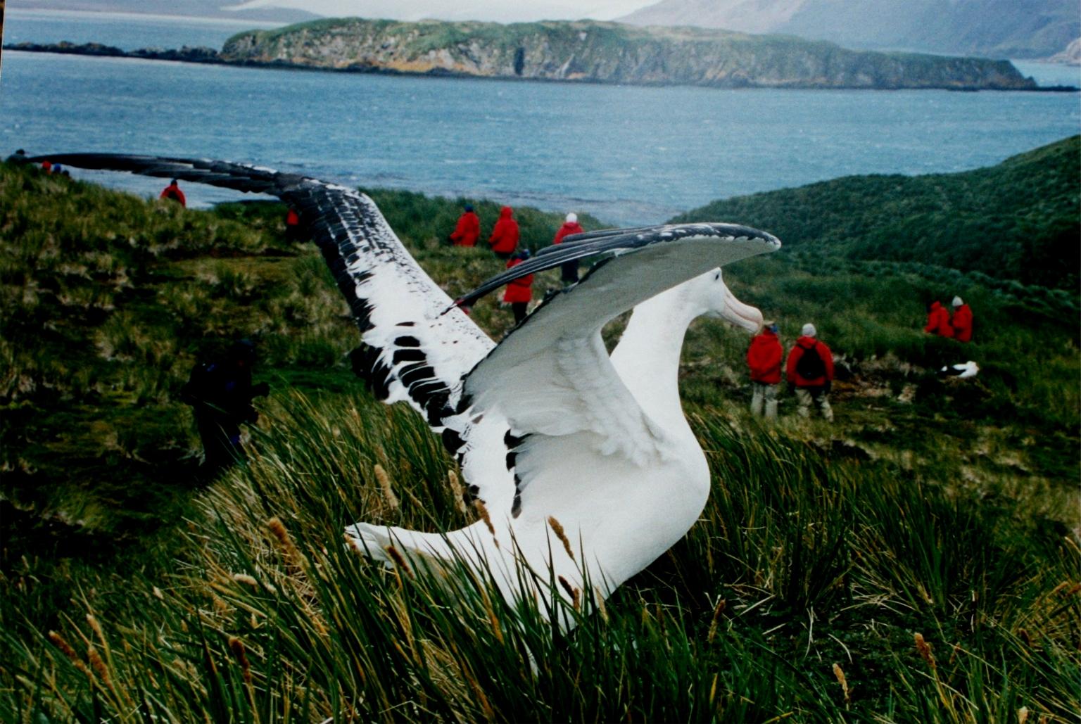 albatros-hurleur-cri