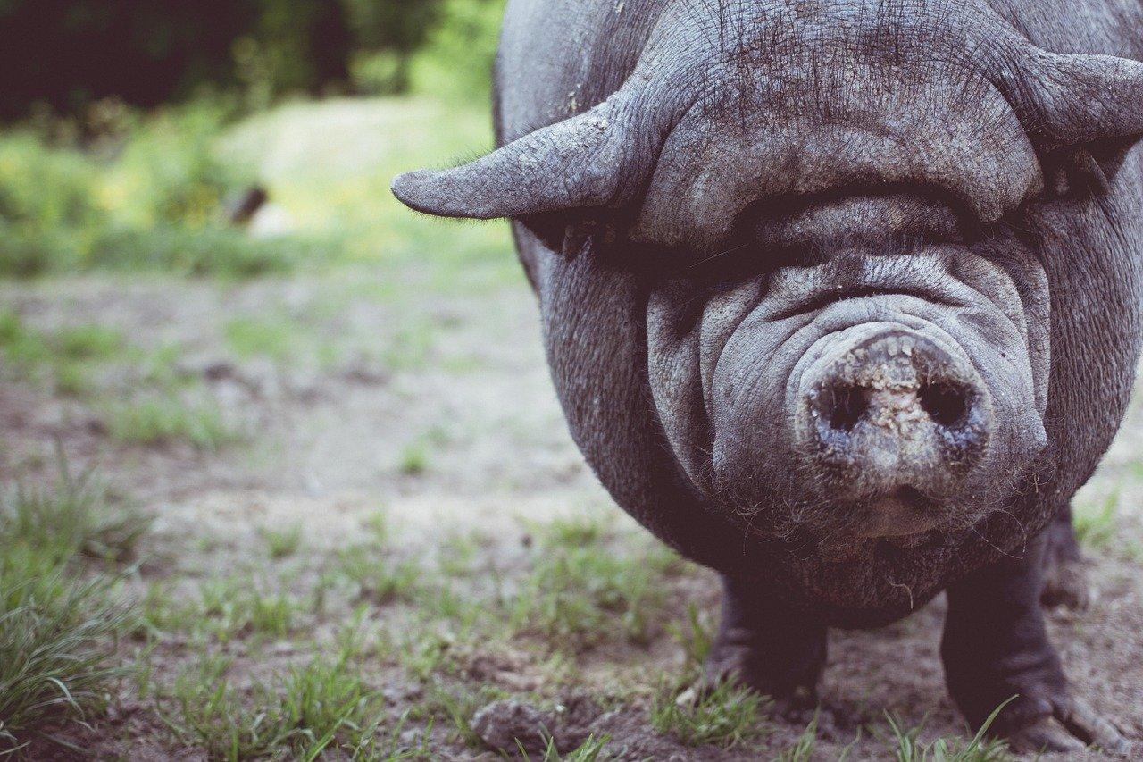 Animaux de guerre- le cochon