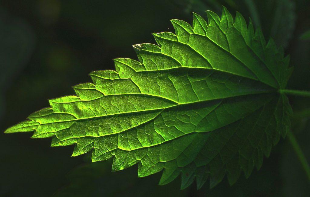 l'ortie plante verte vitamine c naturelle